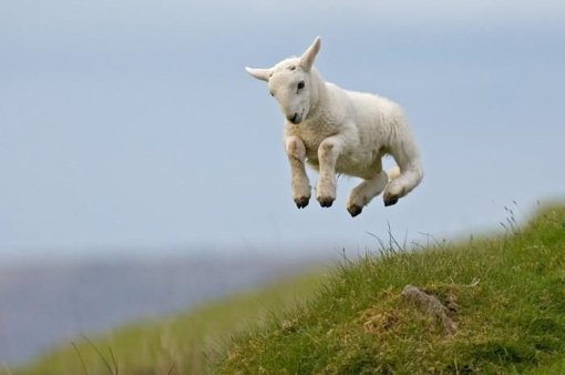 lamb jumps for joy