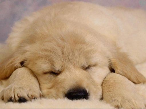 sleeping_puppy_800
